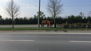 (Özel) İpini koparan atlar trafikte tehlike saçtı