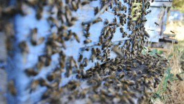 """""""Her yıl bal arılarının yüzde 70'i zirai kimyasal ilaçlar sebebiyle ölüyor"""""""